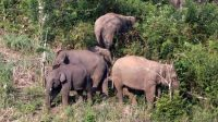 Ilustrasi kawanan gajah. (Ist)