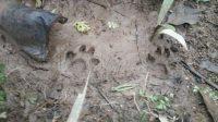 penemuan-jejak-kaki-harimau-di-korong-korong-pasa-balai-nagari-kudu-gantiang