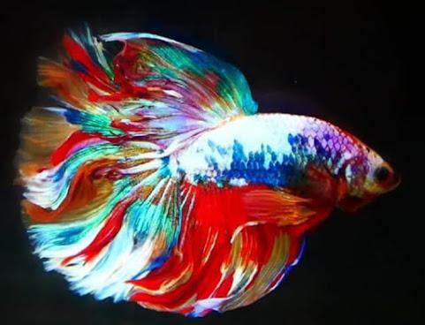 Ikan Cupang. (Ist)