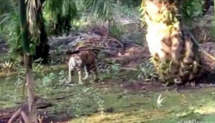 Harimau Masuk Desa di Maro Sebo