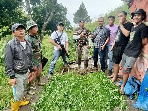 Ladang Ganja Seluas 1 Hektar