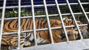 Harimau Sumatera atau biasa disebut Sang Datuk akhirnya ditangkap di Merangin-Jambi